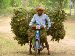 transporting tobacco leaves by motorbike